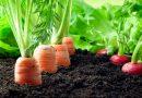 Plantas companheiras: Vegetais para plantar juntos
