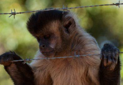 Cidades registram dezenas de mortes criminosas de macacos