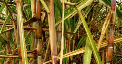 O gene que pode aumentar a produção de etanol