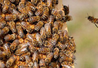 União Europeia mantém veto a inseticidas para proteger abelhas