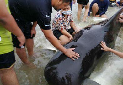 Baleia-piloto morre com 8 kg de saco plástico no estômago