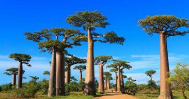 Baobás milenares estão morrendo e preocupam cientistas