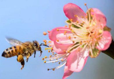 Abelhas desenvolvem dependência química de agrotóxicos