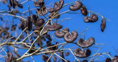 Tamboril: Proteína da planta inibe progressão do câncer de mama triplo-negativo