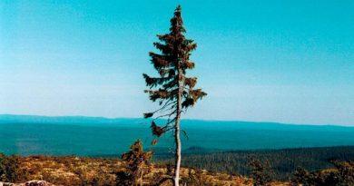Old Tjikko: A árvore mais velha do mundo